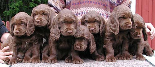 Finding Your Sussex Spaniel Puppy